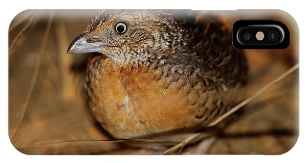 Red-chested Button-quail IPhone Case