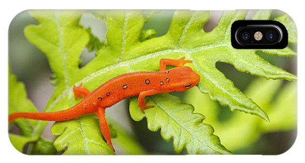 Newts iPhone Case - Red Eft Eastern Newt by Christina Rollo