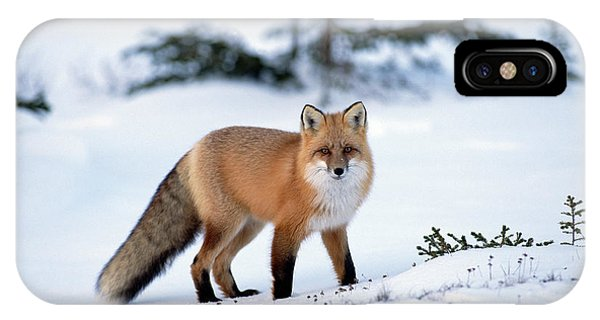 Red Fox Vulpes Vulpes Portrait IPhone Case
