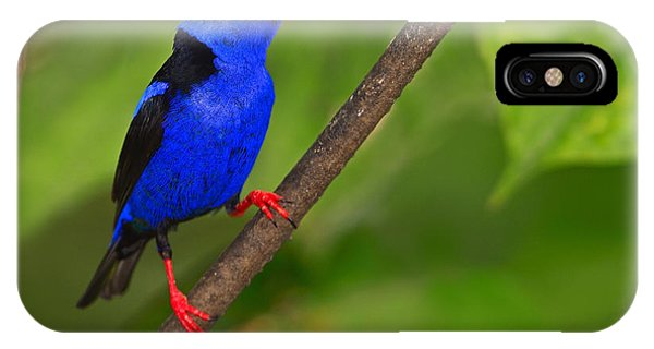 Red-legged Honeycreeper IPhone Case