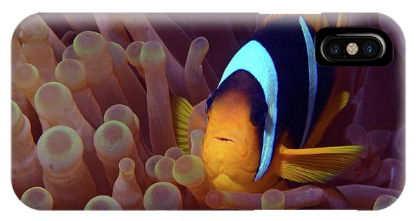 Red Sea Clownfish, Eilat, Israel 9 IPhone Case
