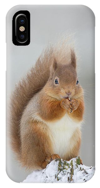 Red Squirrel Nibbling A Hazelnut In The Snow IPhone Case