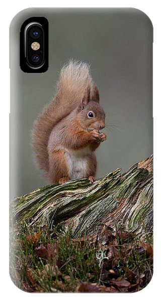 Red Squirrel Nibbling A Nut IPhone Case