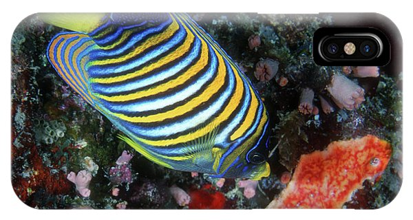 Regal Angelfish, Great Barrier Reef IPhone Case