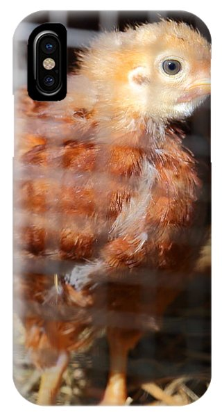 Rhode Island Red Chick At Five Weeks IPhone Case