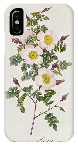 Botanical iPhone Case - Rosa Pimpinelli Folia Inermis by Pierre Joseph Redoute
