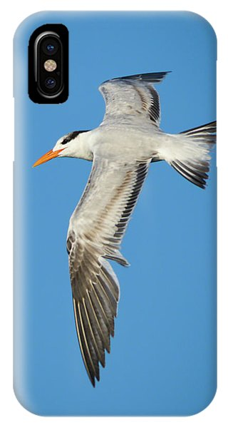 Royal Tern In Flight IPhone Case