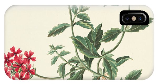 Scarlet iPhone Case - Scarlet Flowered Vervain by Margaret Roscoe