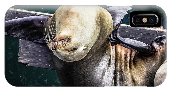 California Sea Lion - Scratch The Itch IPhone Case
