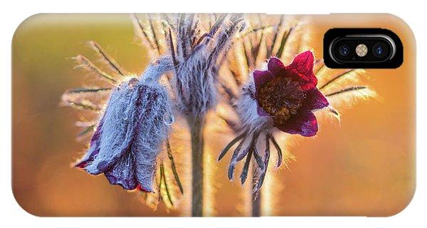 Small Pasque Flower, Pulsatilla Pratensis Nigricans IPhone Case