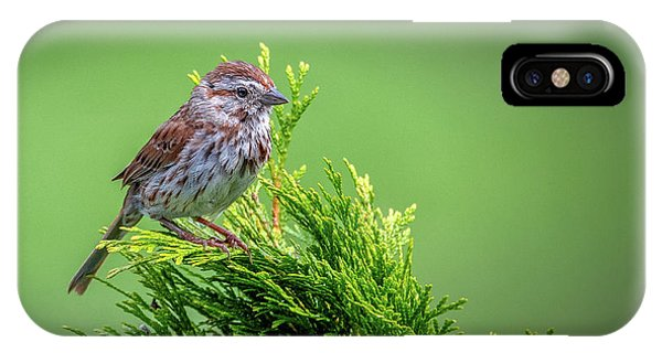 Song Sparrow Perched - Melospiza Melodia IPhone Case