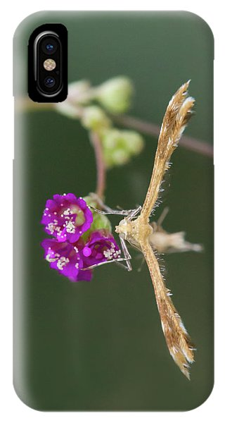 Spiderling Plume Moth On Wineflower IPhone Case