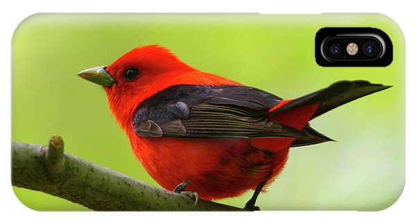 Spring Flame - Scarlet Tanager IPhone Case