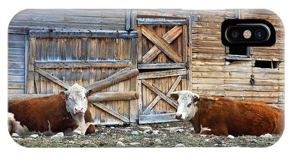 Squires Herefords By The Rustic Barn IPhone Case