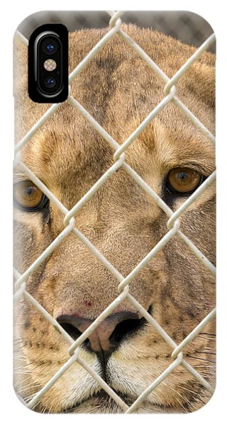 Staring Lioness IPhone Case