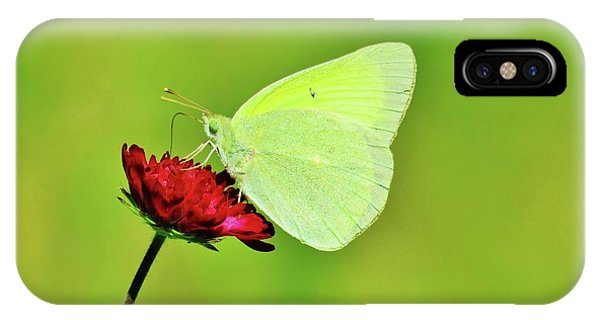 Sulphur Butterfly On Knautia IPhone Case