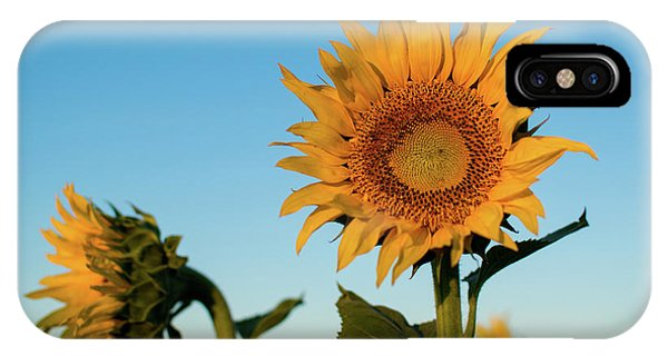 Sunflowers At Sunrise 1 IPhone Case