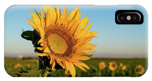 Sunflowers At Sunrise 2 IPhone Case