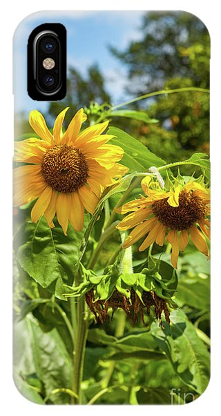 Sunflowers In Sunshine IPhone Case