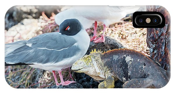 Swallow Tailed Gull And Iguana On  Galapagos Islands IPhone Case