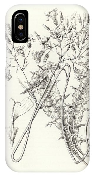 IPhone Case featuring the drawing Taper Tip Hawksbeard, Crepis Acuminate by Antoine Sonrel