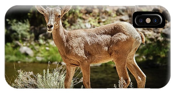 Rocky Mountain Bighorn Sheep iPhone Case - The Cute One by Robert Bales