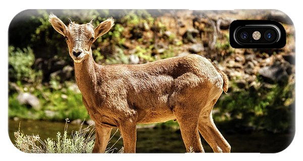 Rocky Mountain Bighorn Sheep iPhone Case - The Young One by Robert Bales