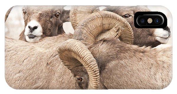 Three Bighorn Rams IPhone Case