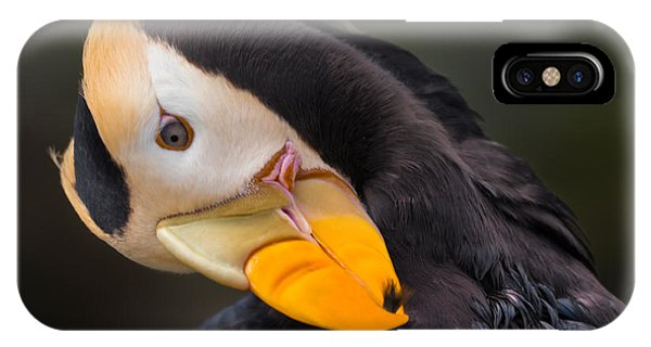 Tufted Puffin Preening IPhone Case