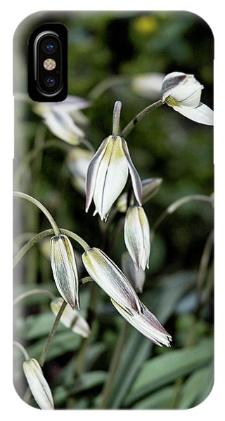 Tulipa Turkestanica IPhone Case