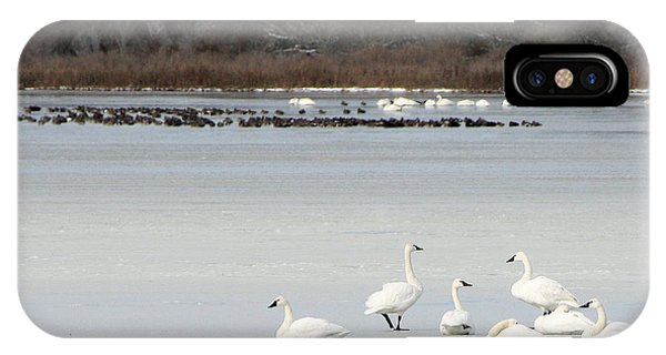 Tundra Swans 1 IPhone Case
