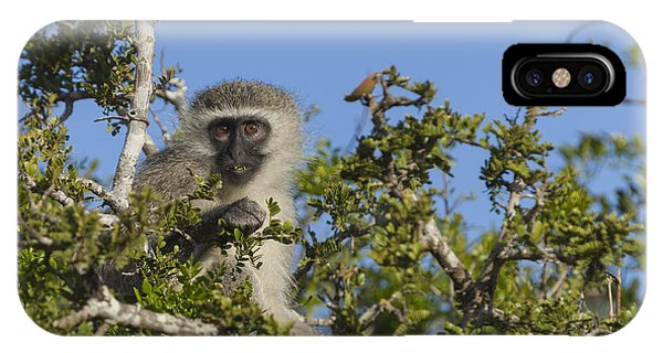 Vervet Monkey Perched In A Treetop IPhone Case