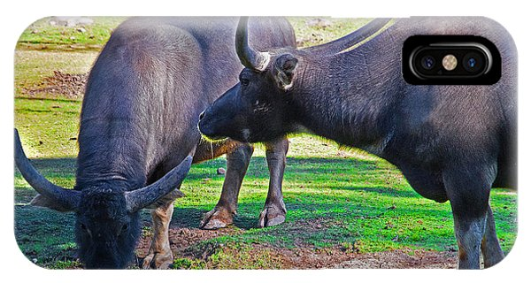 Watching 2 Water Buffalos 1 Water Buffalo Watching Me IPhone Case