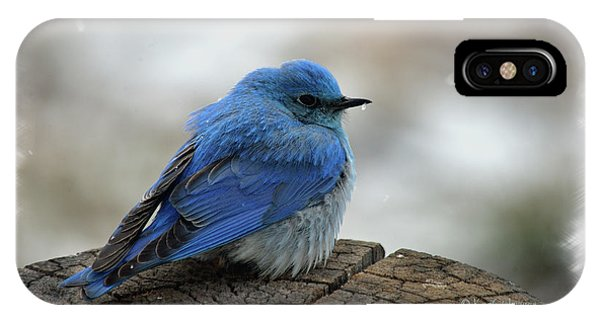 Western Bluebird On Cold Day IPhone Case