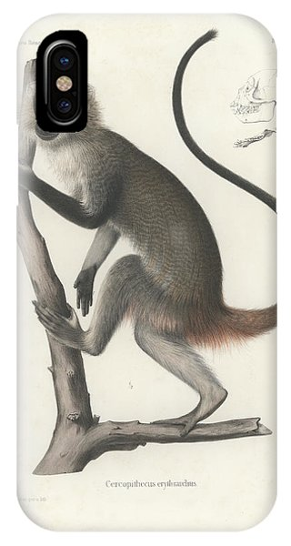 White Throated Guenon, Cercopithecus Albogularis Erythrarchus IPhone Case