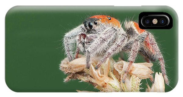 Whitman's Jumping Spider Phone Case by Derek Thornton