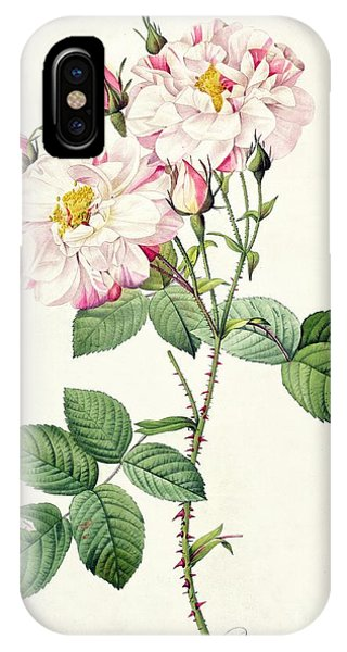 Botanical iPhone Case - York And Lancaster Rose by Pierre Joseph Redoute
