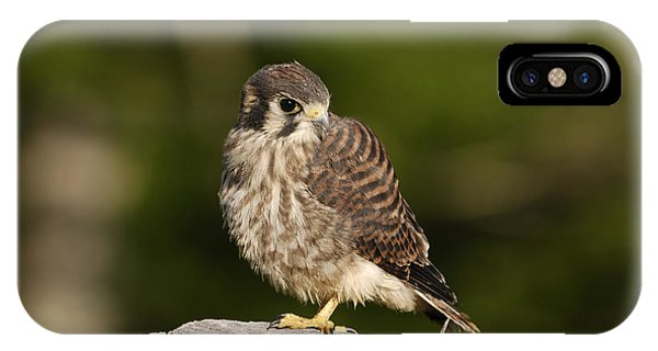 Young American Kestrel IPhone Case