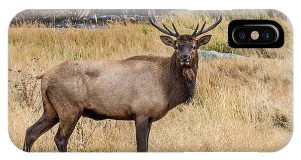 Young Bull Elk IPhone Case