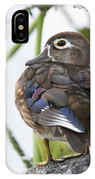Young Female Wood Duck IPhone Case