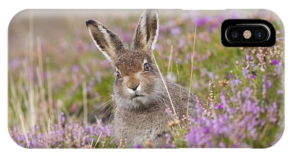 Young Mountain Hare In Purple Heather IPhone Case