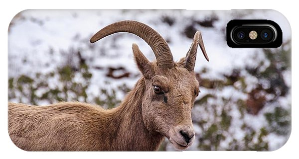 Zion Bighorn Sheep Close-up IPhone Case