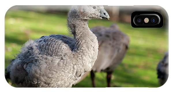 IPhone Case featuring the photograph Cape Barren Goose And Geese by Rob D Imagery