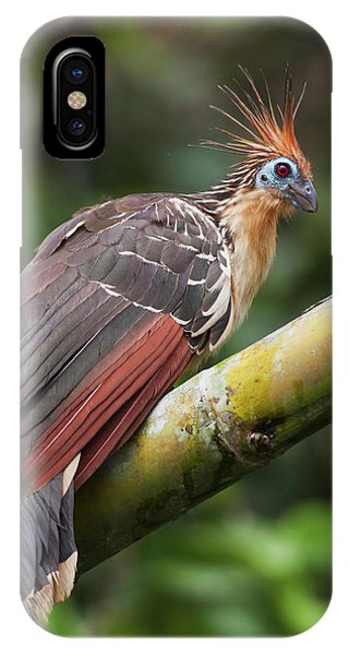 Hoatzin, Amazon Rainforest Phone Case by Ken Archer
