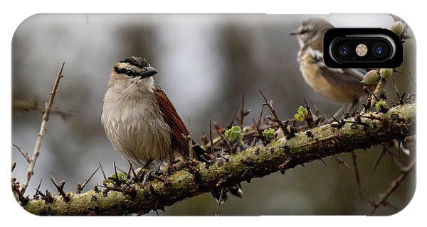 Black-crowned Tchagra And White-browed Scrub-robin IPhone Case
