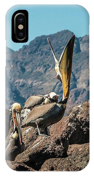California Brown Pelicans In Ilsa Danzante Harbor IPhone Case