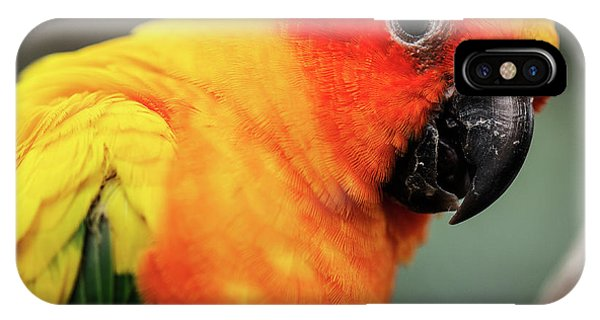 Close Up Of A Sun Conure Parrot. IPhone Case