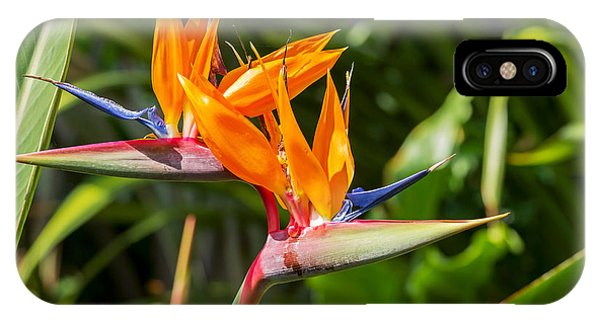 Botany iPhone Case - Colorful Of  Bird Of Paradise Flower by Ntdanai
