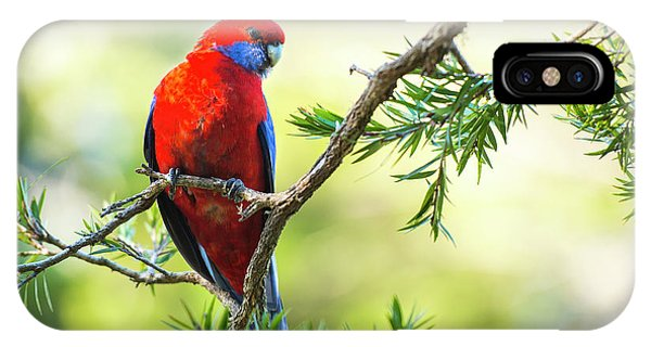 Crimson Rosella IPhone Case