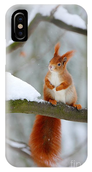Grey Background iPhone Case - Cute Red Squirrel In Winter Scene With by Ondrej Prosicky